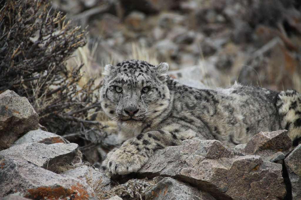 Snow leopard. Credit D. Tseveenravdan.