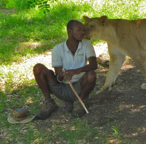 A lion handler bonds with a lioness. Please kids, do not try this at home.