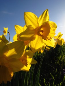 Daffodils blooming on England's Isles of Scilly