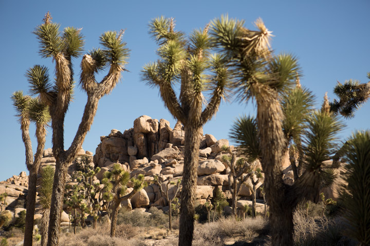 Joshua Tree. Photo Courtesy of Greater Palm Springs CVB