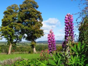 Foxglove in the fields of Nether Westcote