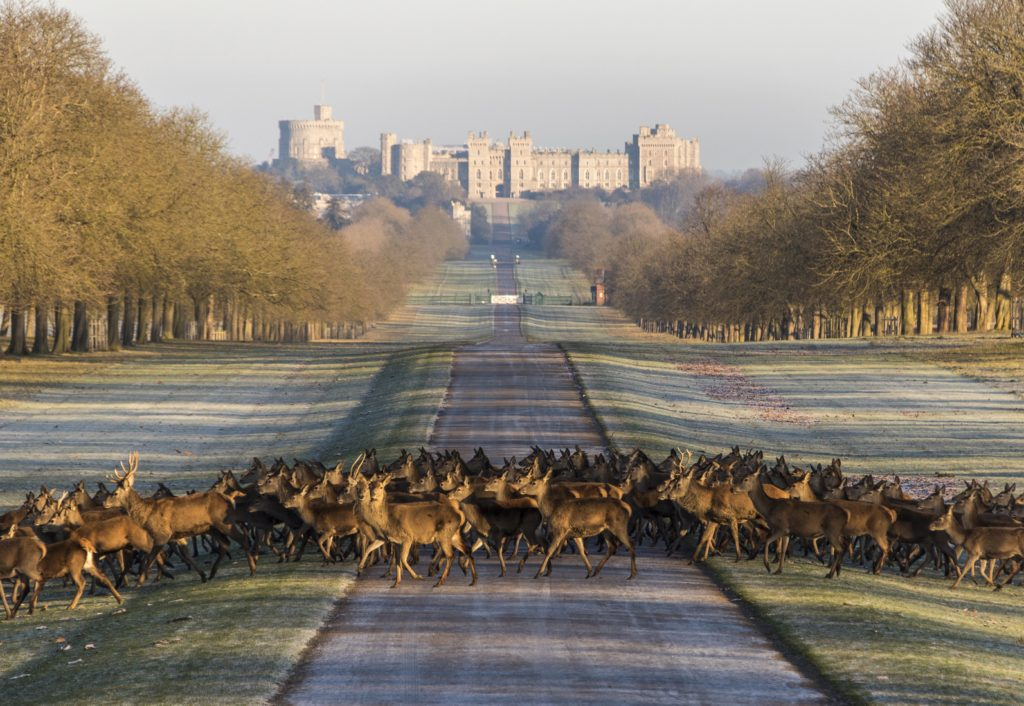 A herd of deer cross the Long Mile roadway in Windsor Great Park, south of Windsor Castle in Berkshire, England.