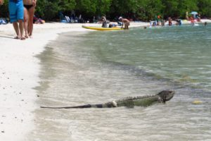 An iguana takes a refreshing dip at Maho Bay, St. John, USVI. Copyright Amy Laughinghouse.