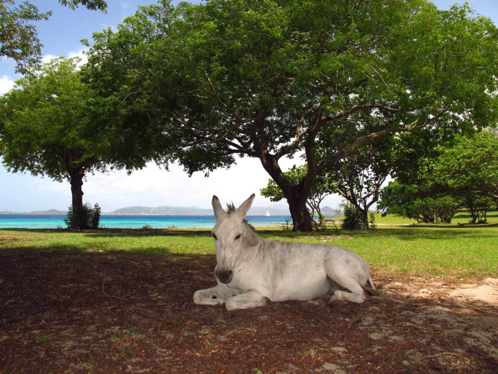 A donkey enjoys a snooze in the shade at Caneel Bay Resort on St. John, USVI. Copyright Amy Laughinghouse.