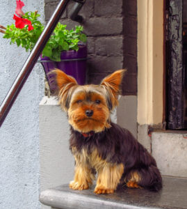 Yorkshire terrier looking at camera and sitting on stone steps