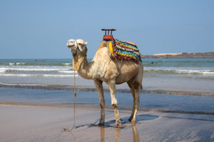 """Is this my best side?"" A camel poses for the paparazzi on Essaouira's beach. Copyright Amy Laughinghouse."
